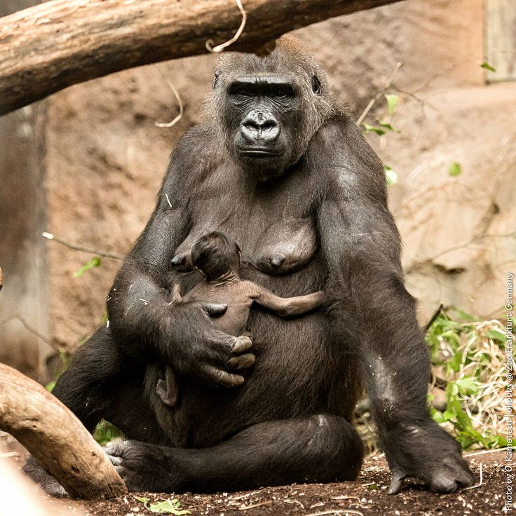 Dian with one of the Twins, born at 15.09.2015 - 19.01.2016 #gorilla #frankfurt #zoo #ape