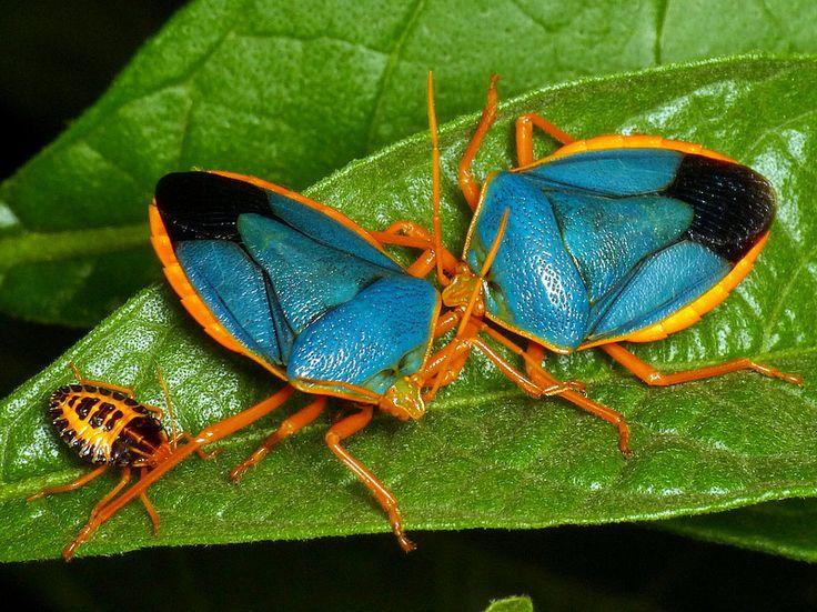 Shield bugs and nymph, Edessa rufomarginata, Pentatomidae   Flickr - Photo Sharing!