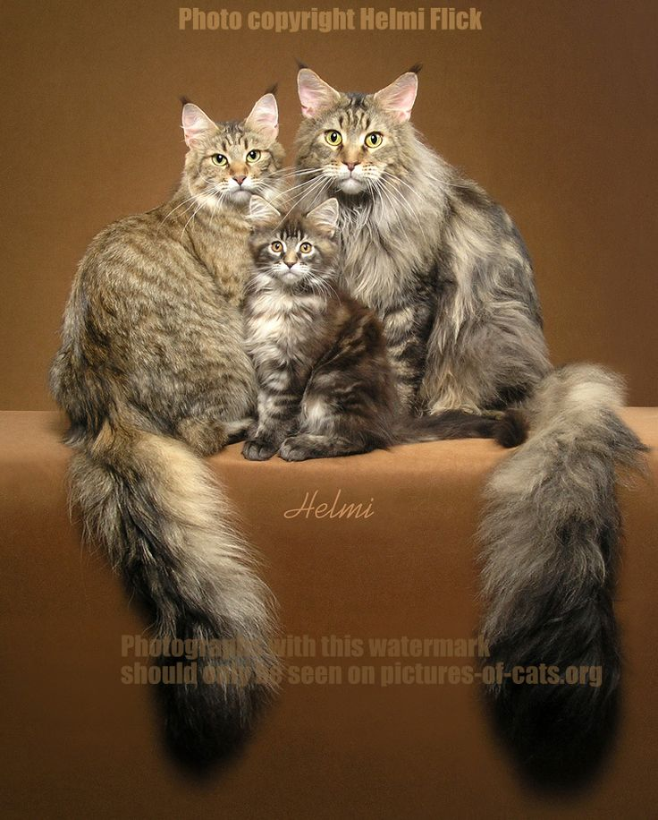 """Mother father and offspring Maine Coons brown tabbies Mischief, Gypsy and kitten. Photo copyright Helmi Flick"" (quote) via http://pictures-of-cats.org"