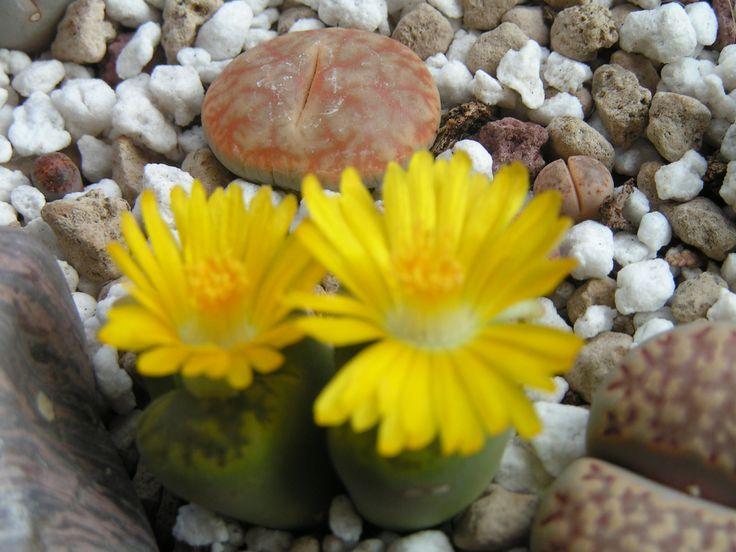 Lithops bromfeldii var. insularis forma sulphurea C362 flower