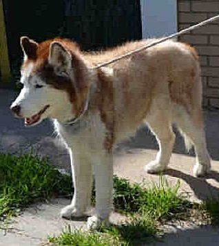 SAFE 08/30/17 --- Staten Island Center ECKO – A1123330 NEUTERED MALE, RED / WHITE, SIBERIAN HUSKY MIX, 13 yrs OWNER SUR – EVALUATE, HOLD FOR OWNER DIED Reason OWNER DIED Intake condition GERIATRIC Intake Date 08/26/2017 http://nycdogs.urgentpodr.org/ecko-a1123330/