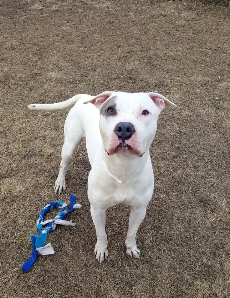 Urgent!to be euth. 3/25/2017. Hi my name is Bronx. I am described as a male, white and gray American Pit Bull Terrier mix.\r\n\r\nThe shelter staff think I am about 1 year.\r\n\r\nI have been at the shelter since Jan 24, 2017.\r\n\r\nI'm available for rescue on Jan 27, 2017 at 7:00pm