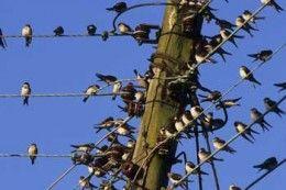 swallow migration - חיפוש ב-Google