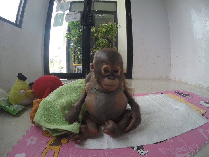Budi | Animals | Orangutan Rescue | International Animal Rescue