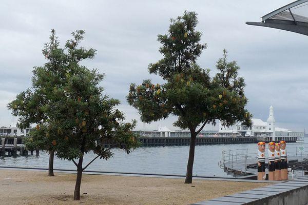 Banksia marginata - (Silver Banksia) - Din San Nursery Plant Database