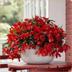 Begónia encantó red