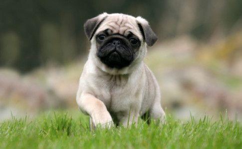 Perro de la raza Pug