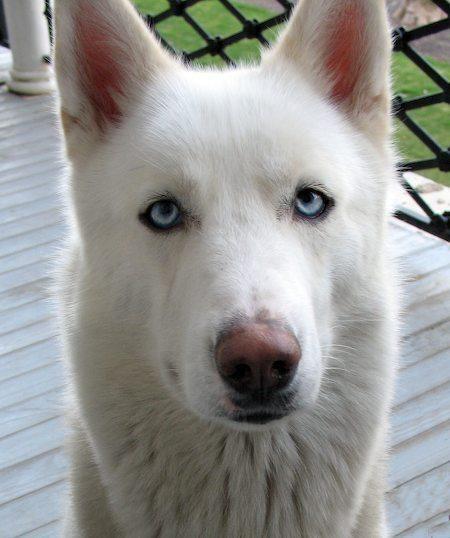 German shepherd husky, Husky mix and Husky on Pinterest