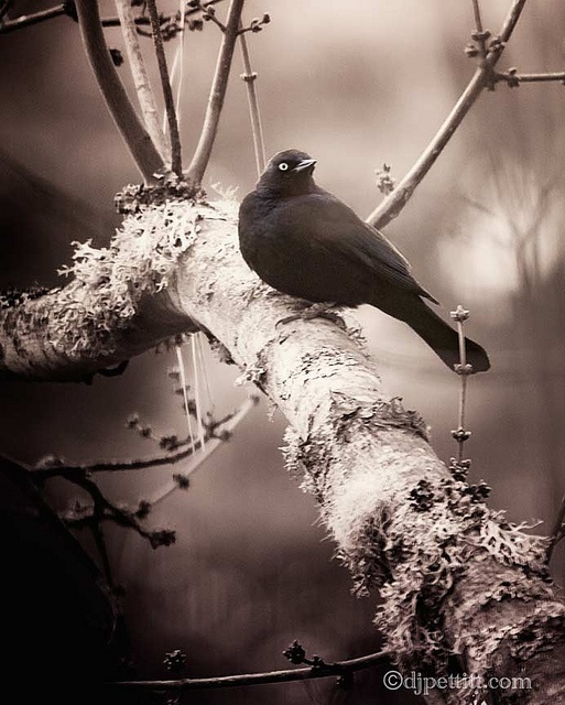 Brewer's Blackbird  Southern Oregon