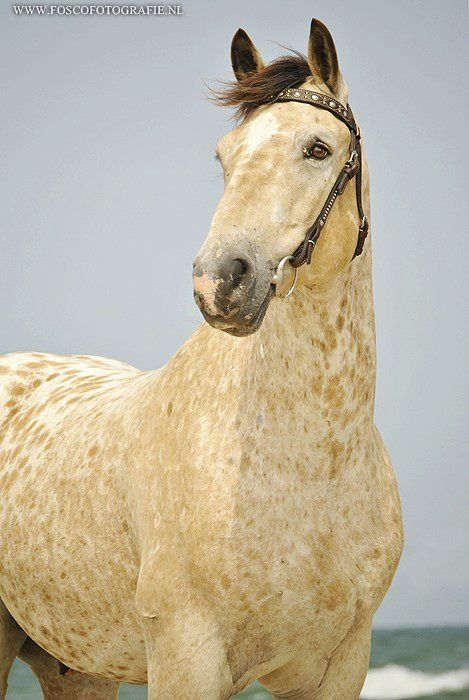"someone posted this as ""Palomino Appaloosa"" can i slap them? last time i checked palominos dont have black forelocks lol some people"
