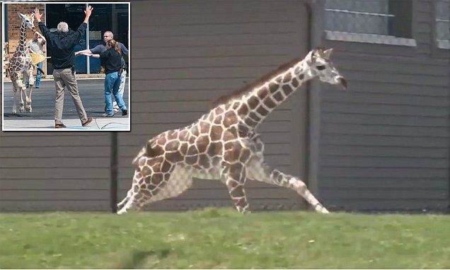 Baby giraffe escapes from enclosure and leads staff on two-hour chase