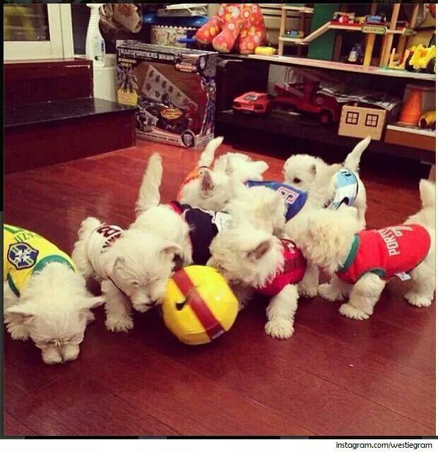 From Westie Terrier
