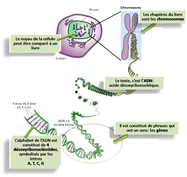 cellule chromosome adn - Recherche Google