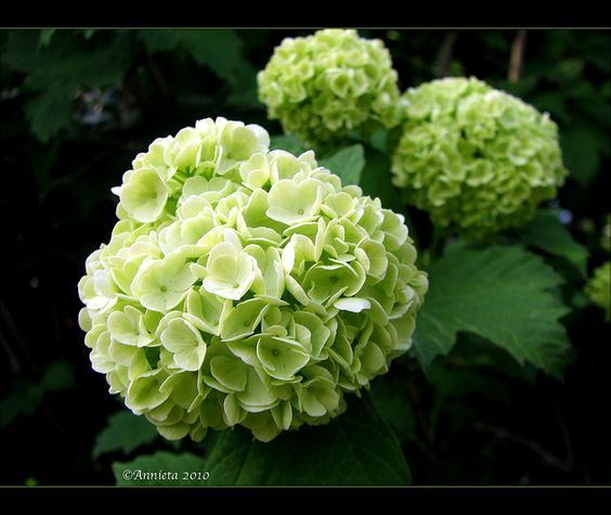 Sneeuwbal / Viburnum opulus ´Roseum´ | Flickr - Photo Sharing!
