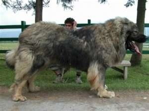 "Met a ""Russian Shepherd Dog"" at the dog show. Sweet, gentle giant"