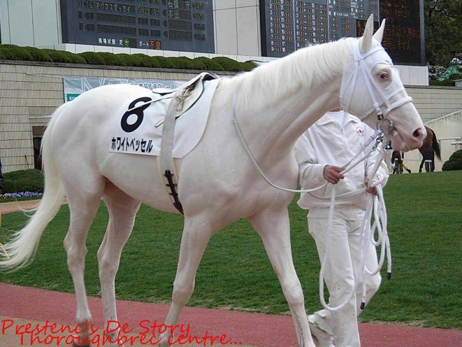 This is White Vessel, a registered white Thoroughbred from Japan!    There was a spate of dominant white or sabino Thoroughbreds racing in Japan. The causative mutation for this family of white Thoroughbreds remains to be discovered. They exhibit white or almost white hoofs and sometimes a glasss (blue) eye and W2 or W5 expressed genes.   Read more about registered white Thoroughbreds here: http://pedigreecurmudgeon.blogspot.ca/2009/12/white-wonder.html