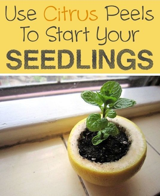 tart your seedlings in a citrus peel, and not just because it's really cute; It will compost in the soil and nourish the plants, so you can just go ahead and plant the whole thing once it's ready. Just don't forget to poke a hole in the bottom for drainage.