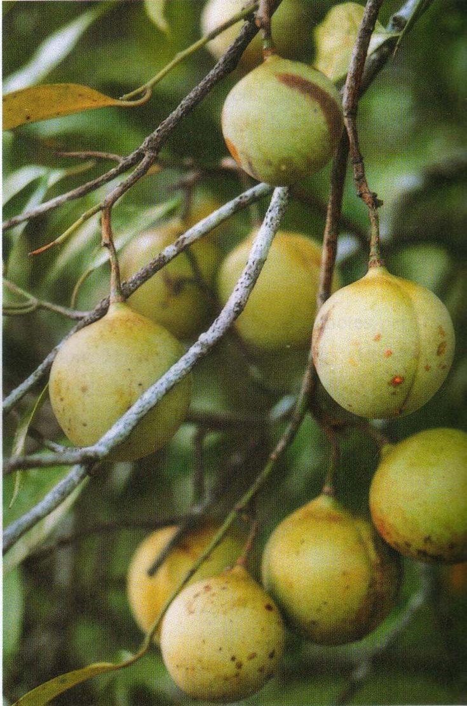 HİNDİSTAN CEVİZİ MYRISTICA FRAGRANS HOUTT. (Myristicaeae-fam.) Bulunduğu Yerler: Güneydoğu Asya'da ve tropikal bölgelerde yetişir. Yapısı: 20 m. kadar yüksek ve daima yeşil bir ağaçtır. Meyveler etli parlak yeşil, şebekemsi kırışıklı, karakteristik kokulu ve yakıcı tattadır. Kullanılan Kısımlar: Kab