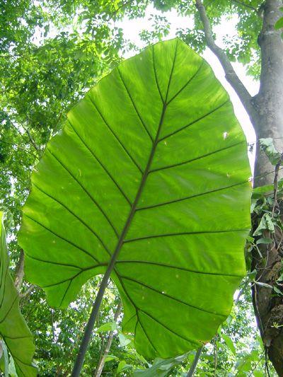 Alocasia x odora var. azurea, giant blue Araceae, elephant ear rainforest plant of China