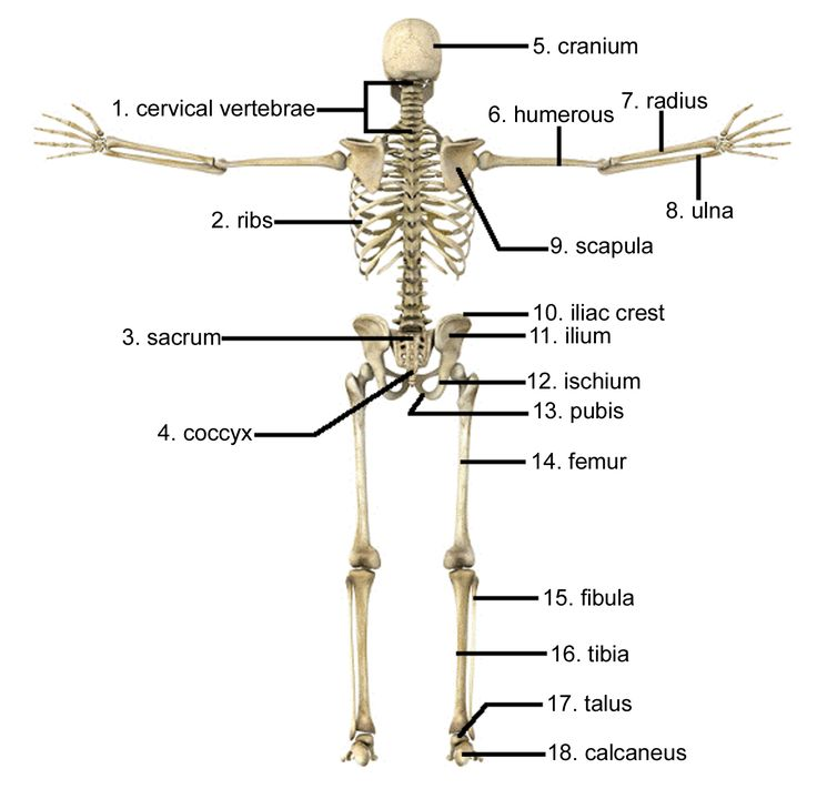 bones of the axial skeleton | The axial skeleton consists of the bones that support and protect the ...
