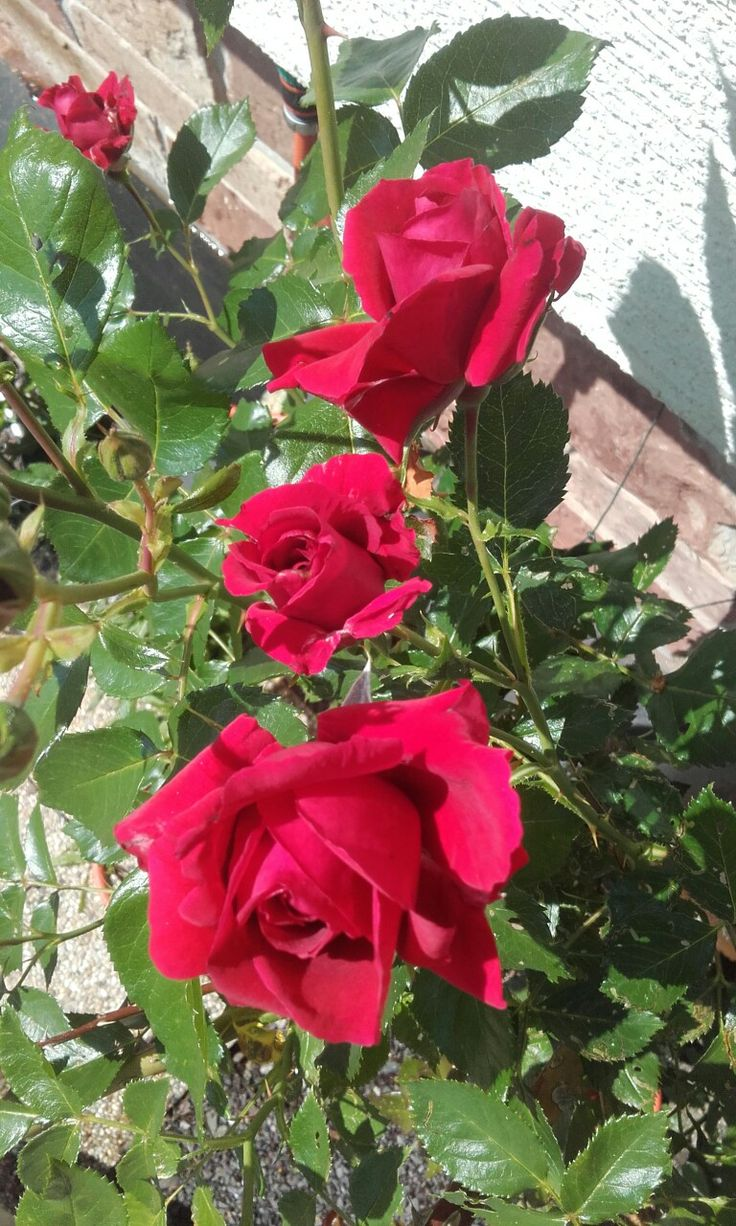 Rose in summer... By Amelli