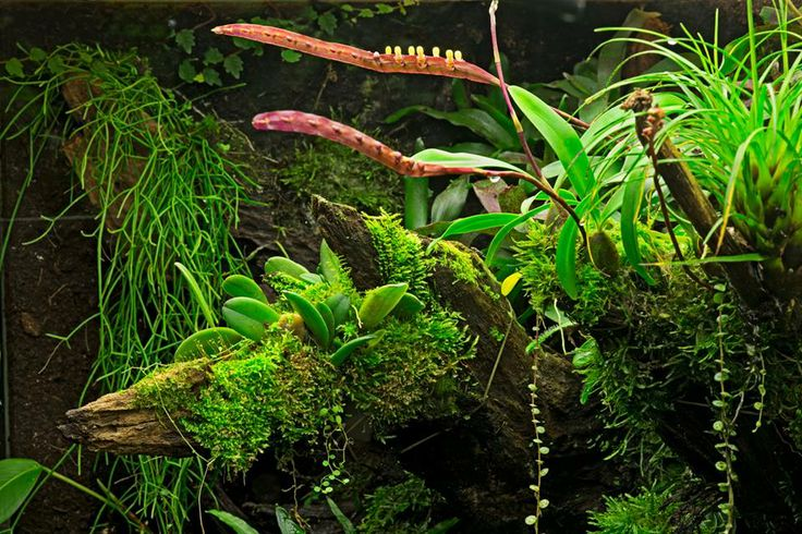 Gorgeous log by dutch rana featuring bulbophyllum falcatum - Begonia argentata ...