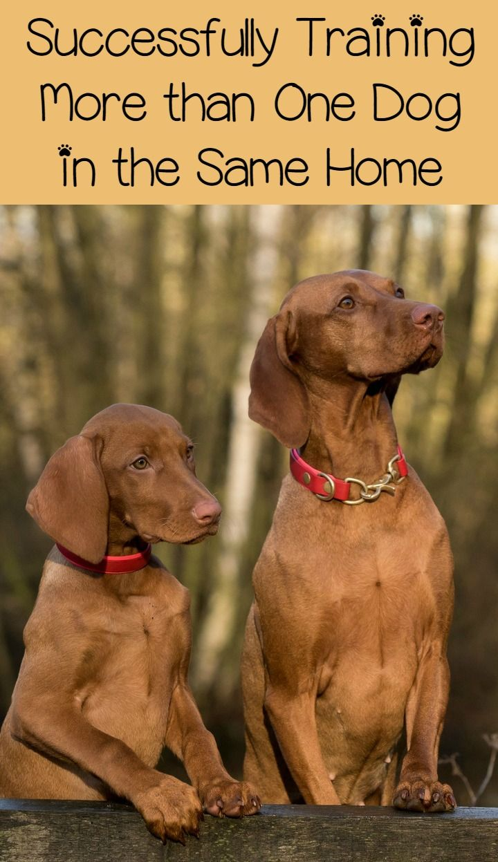Training a Dog – How to Successfully Train Multiple Dogs in the Home