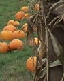 Pumpkin Season | Roloff Farms | Helvetia, Oregon