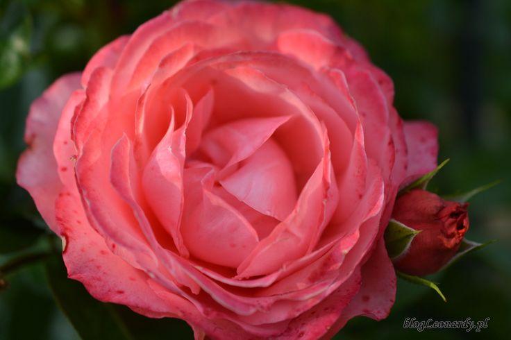 róża rosanna