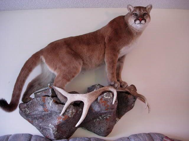 Mountain lion.   Mountain lion mounts.   Pinterest   Lion ...