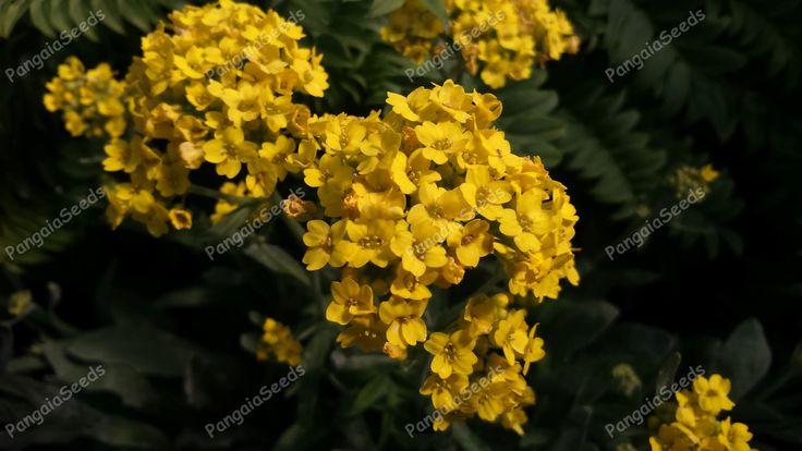 Petrocallis pyrenaica http://www.pangaiaseeds.com