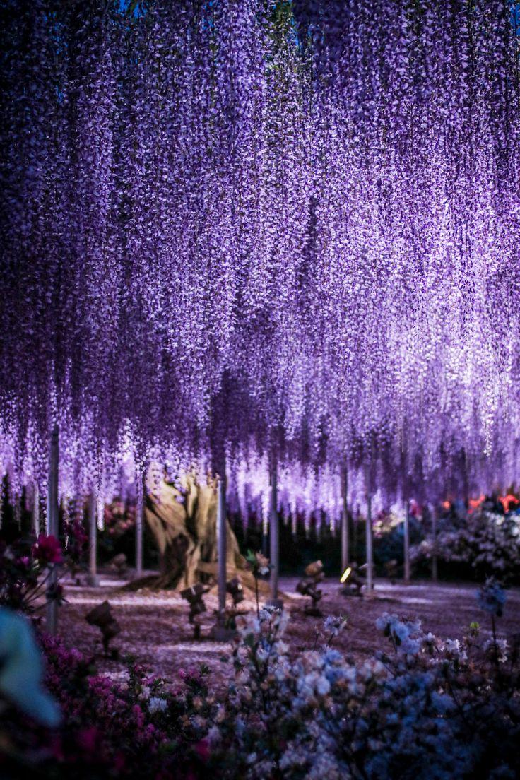 Giant Wisteria - Ashikaga Flower Park, Tochigi, Japan