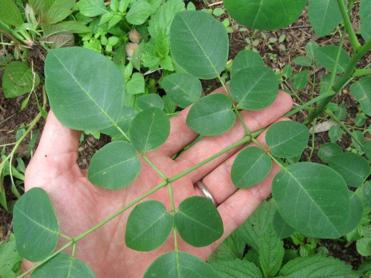 La planta 'milagrosa' que florece en Yucatán