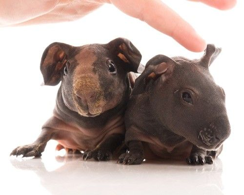 how to take care of a skinny pig