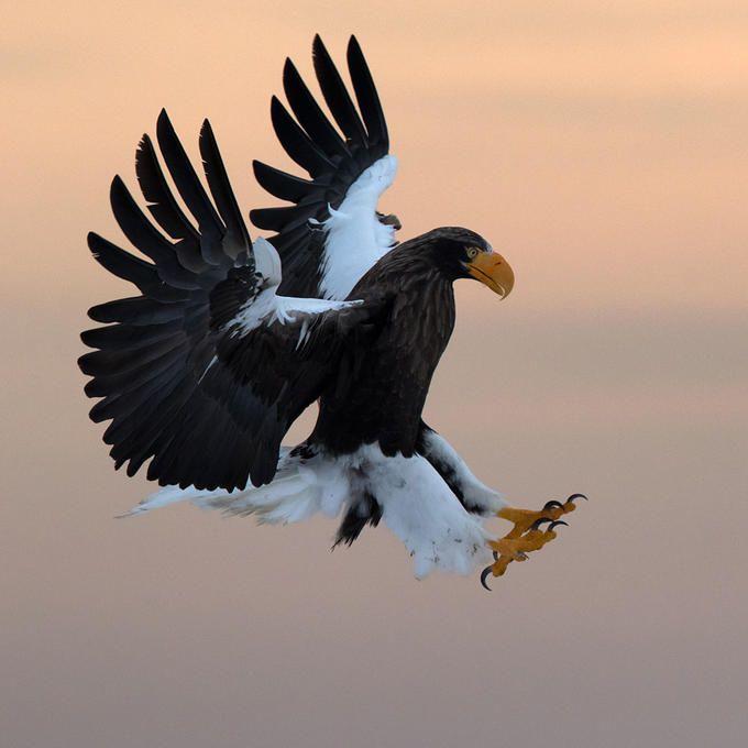 Steller's sea eagle (2): Photo by Photographer Alain D. - photo.net