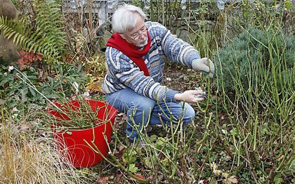 Hortensien Richtig Schneiden Rosen Beet Garten Und Rasenkanten