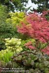 1203362 'Shin Deshojo', 'Sango-kaku' Japanese Maples contrast w/ Leopard Plant, Japanese Andromeda foliage [Acer palmatum 'Shin