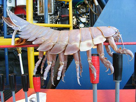 Giant Isopod (2.5 Feet) Found Attached To Underwater Robot