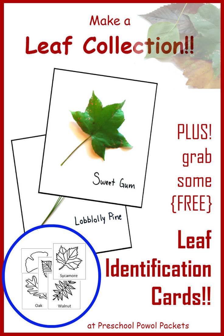 Tree Leaf Collection with {FREE} Leaf Identification Cards!