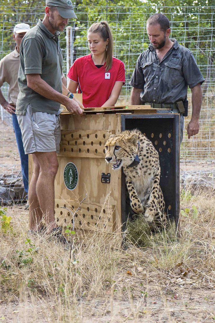 Mongabay reports that earlier this month African Parks, the Endangered Wildlife Trust and Malawi's Department of National Parks and Wildlife flew four African cheetahs (Acinonyx jubatus) from South…