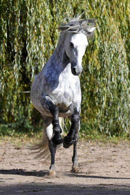 ♥Spanische Pferde