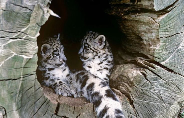 Snow Leopard in Action | Where do snow leopards live? And nine other snow leopard facts - SUCH TV