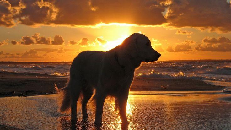 sunset & golden ret