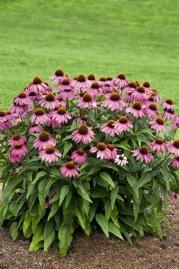 Echinacea purpurea, Primadonna® Deep Rose, Perennial | Benary
