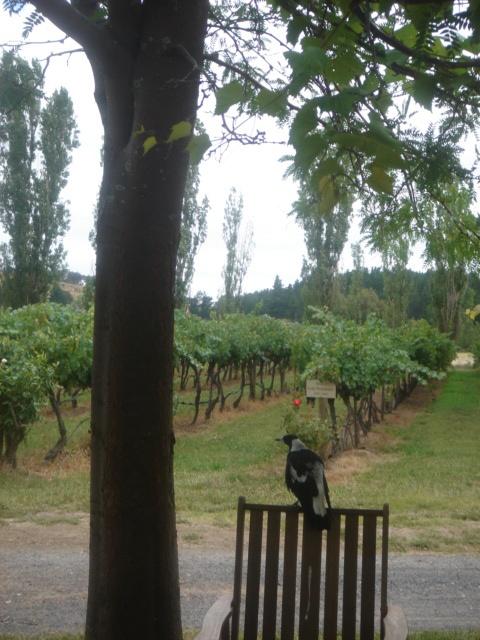 Magpie in the vineyard, at Helm Wines, Murrumbateman, Australia