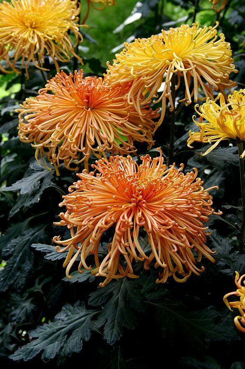 spider chrysanthemum plants for sale chrysanthemums pinterest the o 39 jays for sale and spider. Black Bedroom Furniture Sets. Home Design Ideas