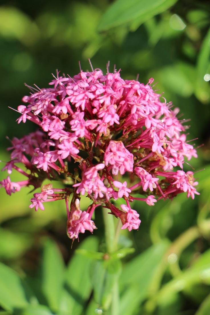 -BLEN: Cápsulas herbales- Valerian flower