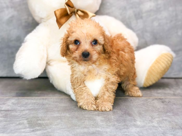 Gregory Puppy Care Puppies Mini Poodle Puppy