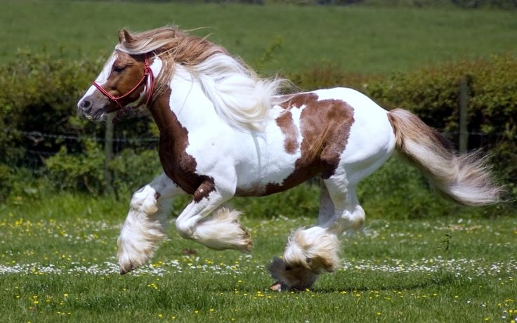 Mamporrero.  Persona encargada de dirigir el miembro del caballo en la cópula con la yegua.