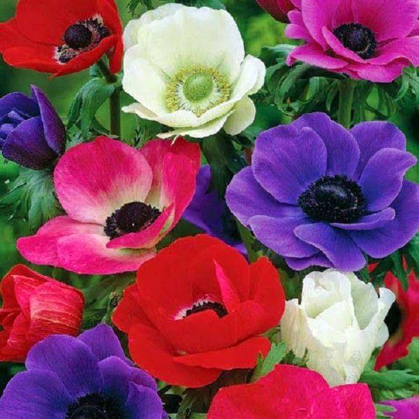 садовые цветы: ПРЕКРАСНАЯ ДОЧЬ ВЕТРОВ - АНЕМОНА